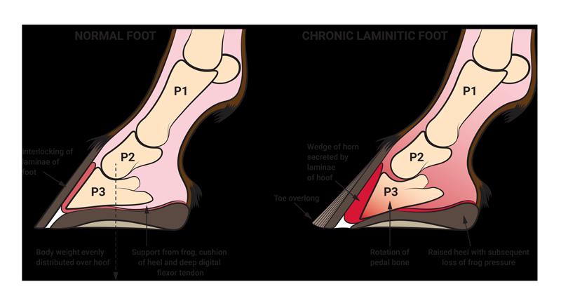 Understanding Laminitis – Founder